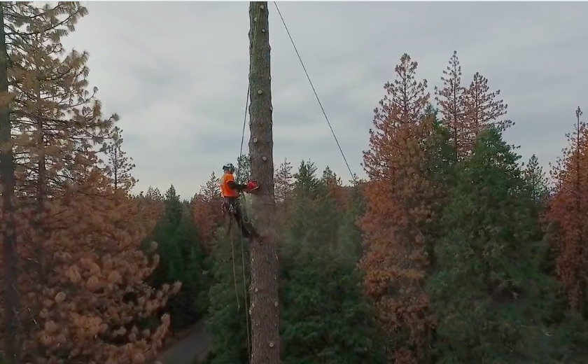 Watch A Team Of Expert Arborists Remove Massive Trees In California With No Margin For Error!