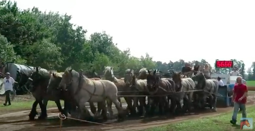 Horsepower or Horse Powered: Who Wins A The Pull? A Team Of 16 Belgian Draft Horses Or A Tractor?
