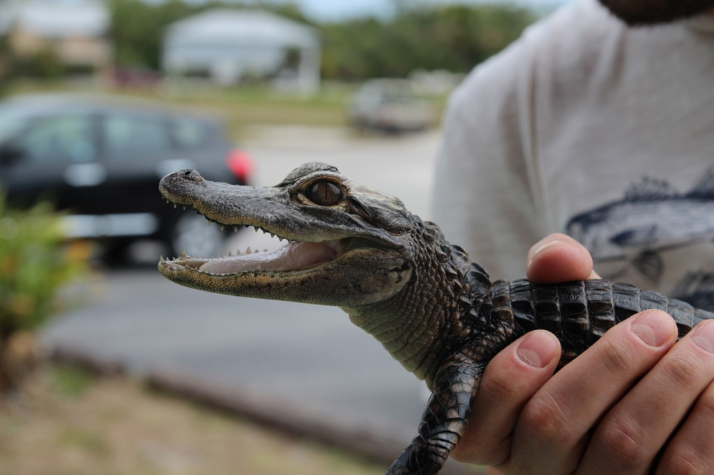 "Scrapple, Your Guide To The ""meh""-Worthy News! This Week: That Poor, Poor Gator."
